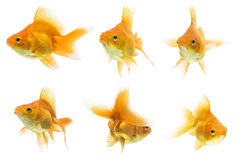 Ryukin Goldfish Series Stock Images