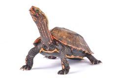 Ryukyu Black-breasted Leaf Turtle, Geoemyda japonica. The Ryukyu Black-breasted Leaf Turtle, Geoemyda japonica isa highly endangered turtle species endemic to Stock Photo