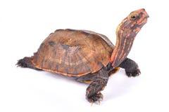 Ryukyu Black-breasted Leaf Turtle, Geoemyda japonica. Is a rare turtle species endemic to Japan Stock Images
