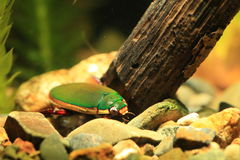 Ryukyu Diving beetle Stock Photography