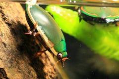Ryukyu Diving beetle Stock Photos