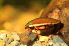 Ryukyu Diving beetle Royalty Free Stock Photos