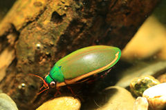 Ryukyu Diving beetle Royalty Free Stock Photo
