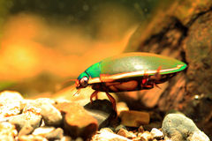 Ryukyu Diving beetle Stock Images