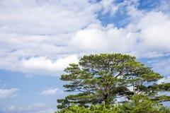 Ryukyu pine tree Royalty Free Stock Photos