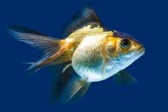 Ryvkin Goldfish Isolated On Blue Stock Images