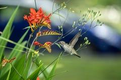Ryzi Hummingbird i Crocosmia kwiaty zdjęcie royalty free