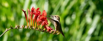 Ryzi Hummingbird i Crocosmia kwiaty fotografia stock