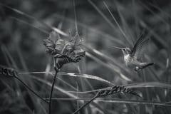 Ryzi Hummingbird i Crocosmia kwiaty z czarny i biały tło zdjęcia stock
