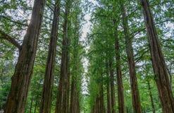 Rząd zieleni ginkgo drzewa w parku obrazy stock