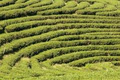 Rzędy herbaciane rośliny podąża kontury wzgórze na plantacji obrazy royalty free