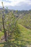 Rząd biali kwiatonośni sadów drzewa w wiośnie zdjęcie stock