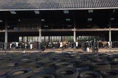 Rząd czarny i biały holstein krowy w połówki otwartej stajence behind Obraz Stock