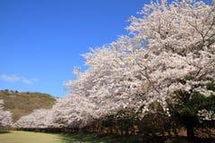 Rząd czereśniowego okwitnięcia drzewa w Izu Fotografia Stock