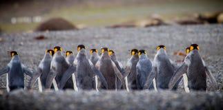 Rząd królewiątko pingwiny od plecy Fotografia Royalty Free