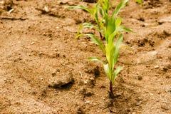 Rząd kukurudzy zieleni rozsady na suchym polu z małymi kamieniami Zdjęcia Stock