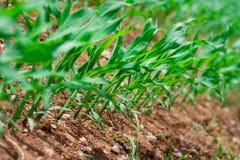 rząd kukurydziany obrazy royalty free