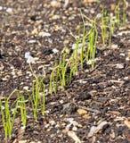 Rząd Młode Cebulkowe rośliny Fotografia Stock