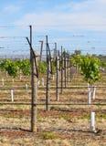 Rząd Młodzi winogrady i Trellis Zdjęcie Stock