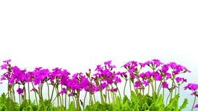 Rząd różowi pierwiosnkowi kwiaty zbiory wideo
