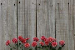Rząd różowych mums drewna rabatowy ogrodzenie Fotografia Royalty Free