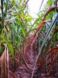 Rząd roślina kukurudze zdjęcie royalty free