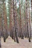 Rząd sosny w lesie zdjęcia stock