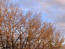 Rząd topolowi drzewa w opóźnionym spadku Fotografia Stock