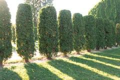 Rząd wielki tuj drzew stojak w linii Słońce przerwy przez drzew Zdjęcia Royalty Free