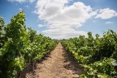 Rząd winogrona w winnicy zdjęcia royalty free