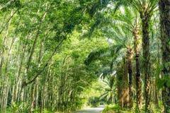 Rząd wydychany Para gumowy drzewo, drzewko palmowe i fotografia royalty free