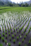 rządy zielonych ryżu Zdjęcie Royalty Free
