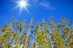 rzędów eukaliptusowi drzewa Fotografia Stock