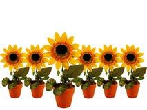 rzędów słoneczniki Obrazy Royalty Free