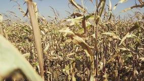 Rzędy dojrzała kukurudza na polu zbiory wideo