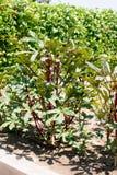 Rzędy dojrzałe okra rośliny fotografia stock