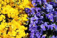 Rzędy Dziki pansy lub altówka tricolor mali dzicy kwiaty z w pełni otwartymi płatkami gęsto zasadzającymi w miejscowym zmroku - b zdjęcie royalty free