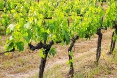 Rzędy gronowi winogrady blisko Montalcino, Val d ` Orcia, Tuscany, Włochy fotografia stock