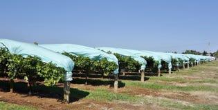 Rzędy Gronowi winogrady Ochraniający Błękitną Plastikową zatoczką obraz stock