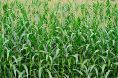 Rzędy i rzędy świeża rozpruta kukurudza Zdjęcie Royalty Free