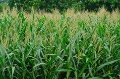 Rzędy i rzędy świeża rozpruta kukurudza Zdjęcie Stock