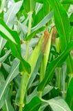 Rzędy i rzędy świeża rozpruta kukurudza Zdjęcia Stock