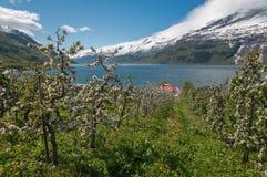 Rzędy kwitnąca jabłoń w Maju nad tłem sn Zdjęcia Royalty Free