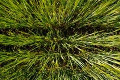 Rzędy lato trawy tekstury świeży zielony pszeniczny tło Fotografia Royalty Free