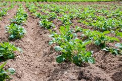 Rzędy młode kartoflane rośliny Zdjęcie Stock