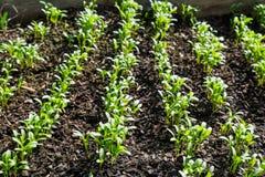 Rzędy młodego cilantro kolendrowy sadzonkowy dorośnięcie w chochole w g fotografia stock