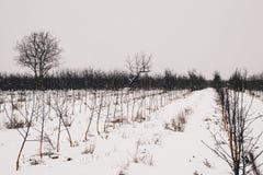 Rzędy młodzi drzewa w zimy scenerii obrazy royalty free