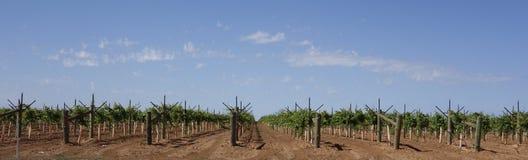 Rzędy Młodzi Stołowi Gronowi winogrady. Obrazy Royalty Free