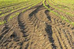 Rzędy małe kukurydzane rośliny od organicznie uprawiać ziemię w Włochy Obrazy Royalty Free