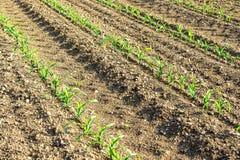 Rzędy małe kukurydzane rośliny od organicznie uprawiać ziemię w Włochy Zdjęcie Royalty Free